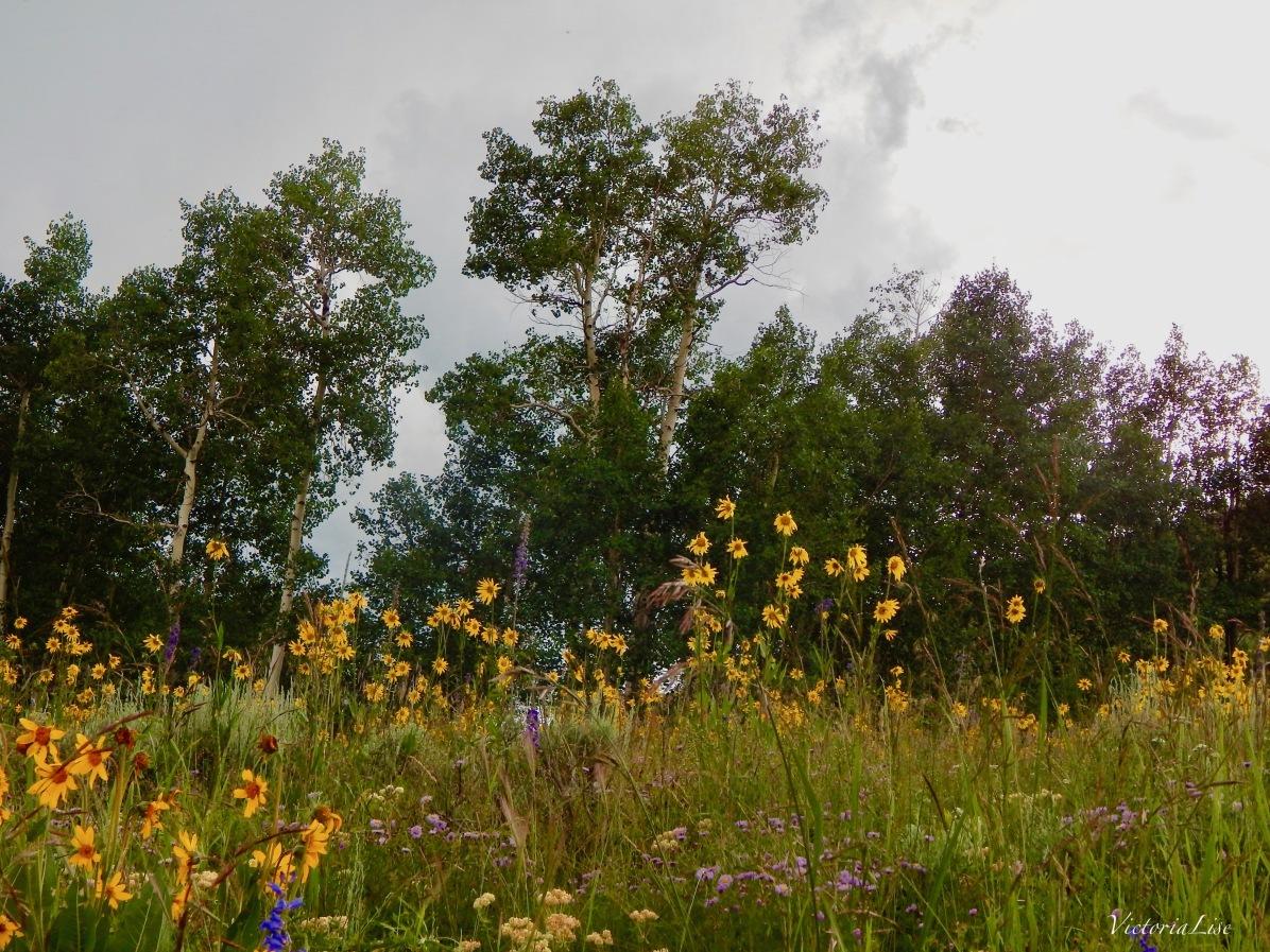 Nodding Sunflowers Under Stormy Skies. ©Victoria Lise Walls.