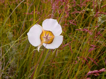 Mariposa Lily of Colorful Colorado. ©Victoria Lise Walls.