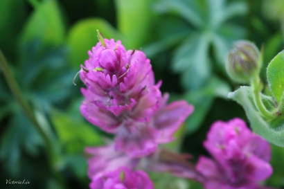 The unfurling of a Rosy Paintbrush. Crested Butte Wildflowers. ©Victoria Lise Walls.