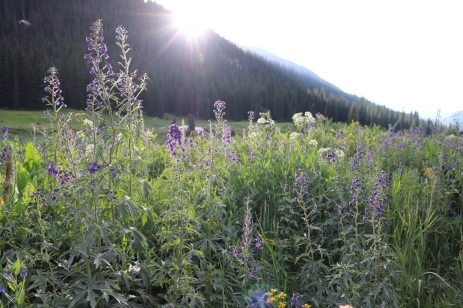 Larkspur at Sunset, Crested Butte, Colorado. ©Victoria Lise Walls