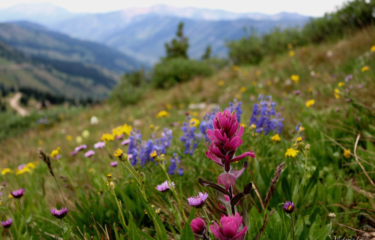 High Alpine Wildflowers, Cinnamon Mountain. Colorado. ©Victoria Lise Walls.