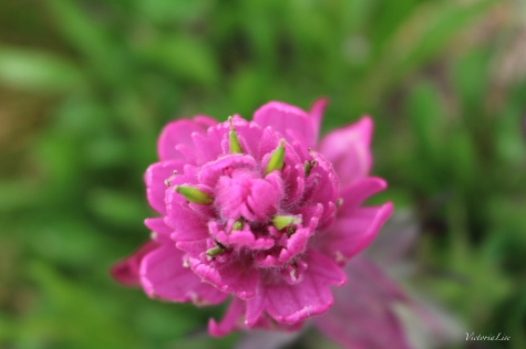 Macro Deep Pink Rosy Paintbrush. Crested Butte Wildflowers. ©Victoria Lise Walls