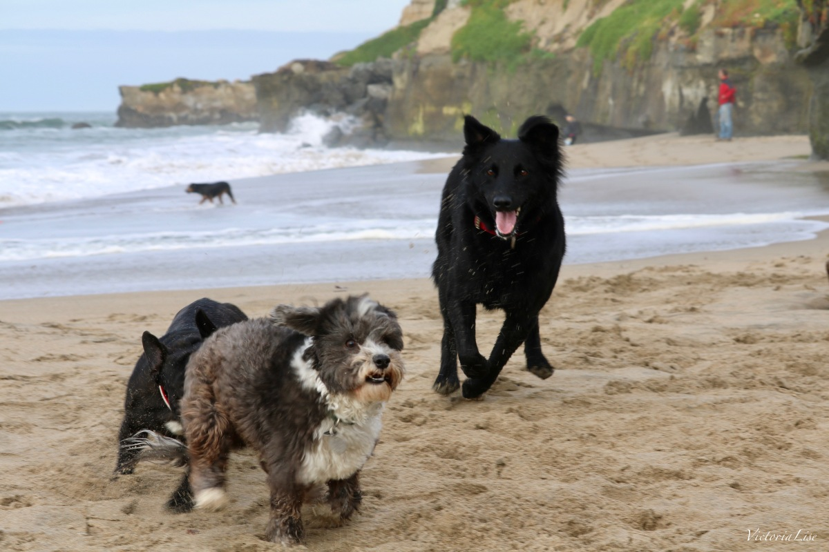 Styx at the Santa Cruz, CA dog beach. Dogs at play.