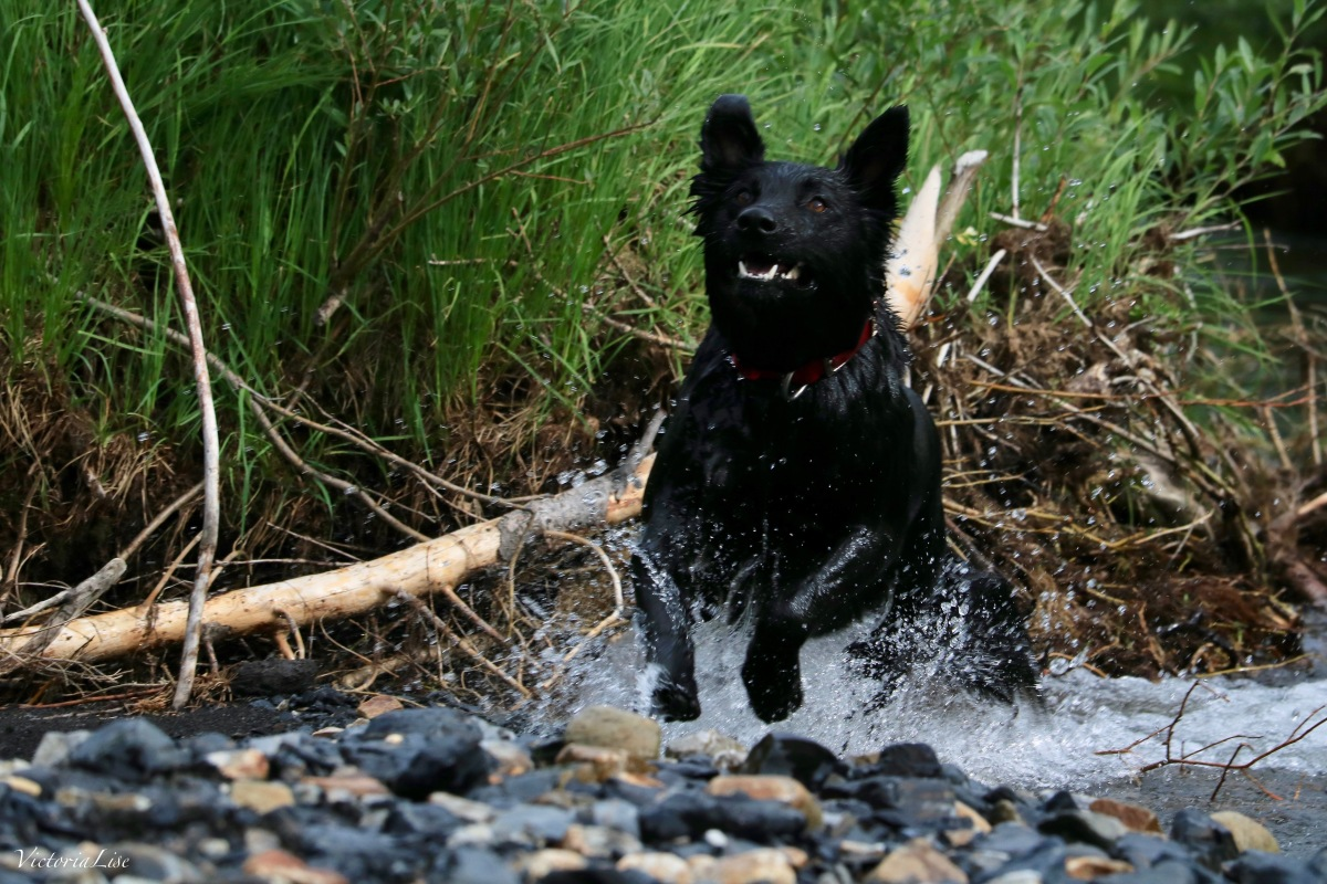 Black dog plays in the Slate river. ©Victoria Lise