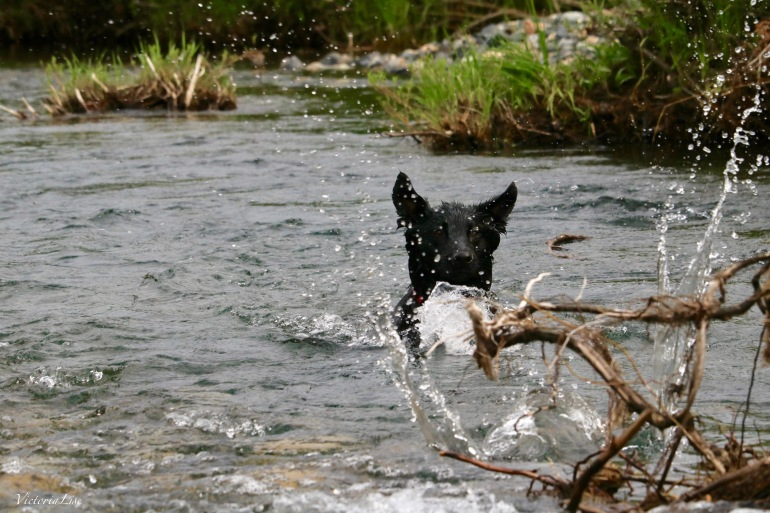 Styx swims in Slate River. ©Victoria Lise
