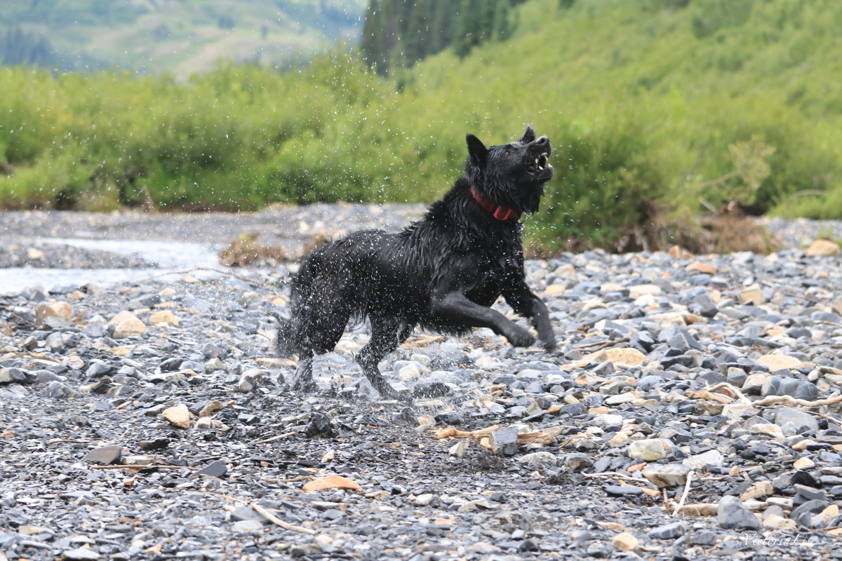 Action shot of Styx the rescue dog. ©Victoria Lise