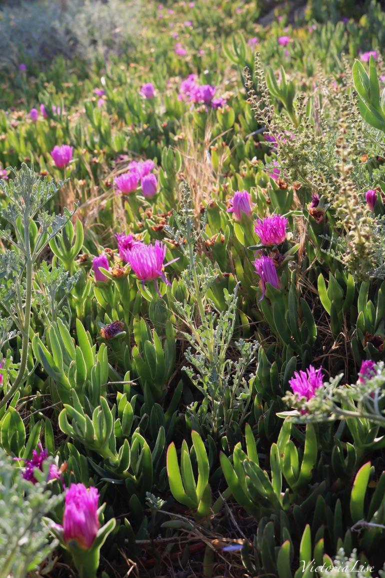 Purple Succulents Along Southern California Coast. ©Victoria Lise 2018.