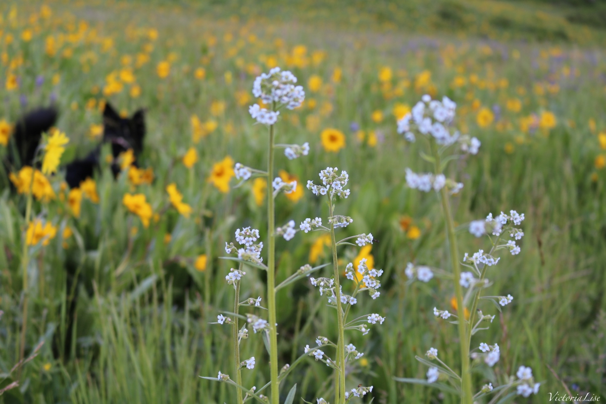 Wildflowers and a Wild Pup. ©Victoria Lise 2016.