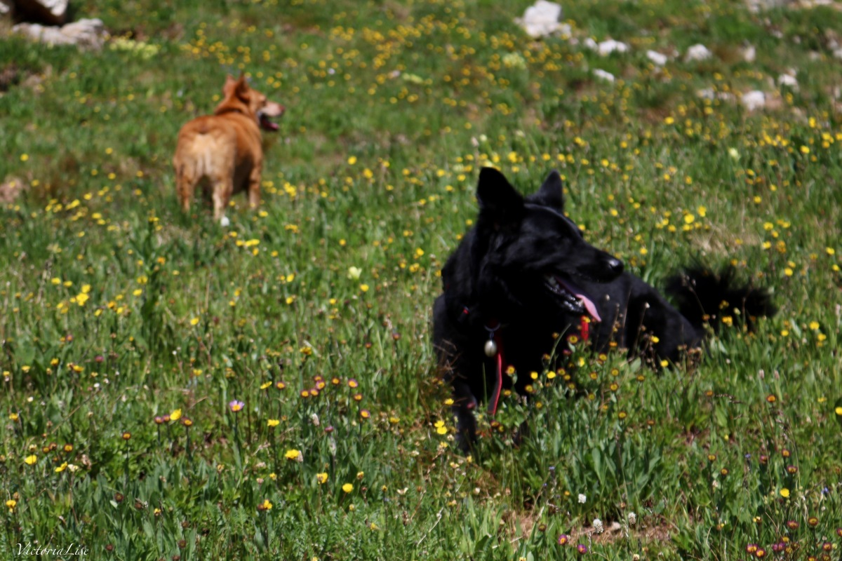Red Dog and Styx, two rescue dogs, enjoying the backcountry of Colorado. ©Victoria Lise 2018.