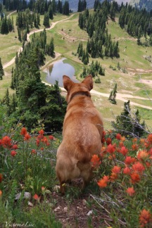 Rescue Red Dog in a patch of wild paintbrushes. ©Victoria Lise 2018.