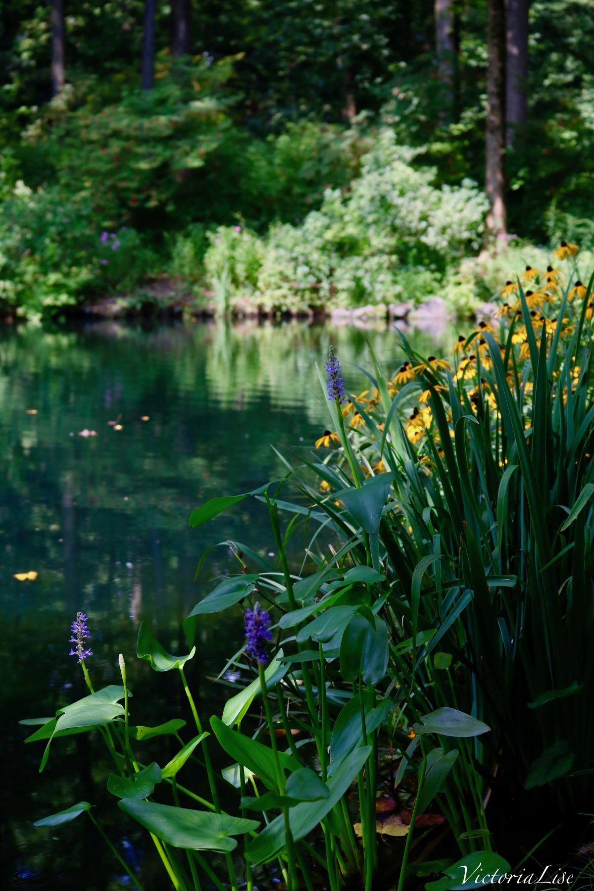 Black eyed Susans line a reflective pond. ©Victoria Lise 2018.