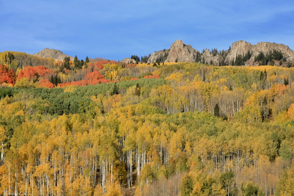 Aspens color palette at the height of Fall. ©Victoria Lise 2018.