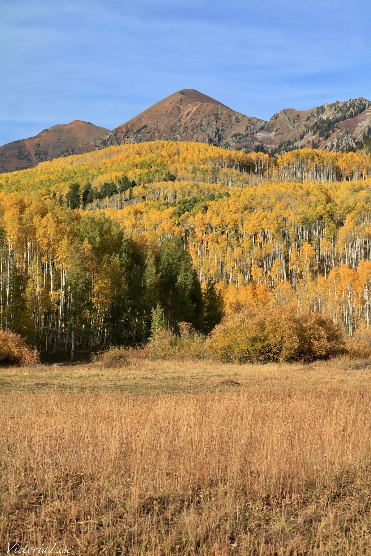 Mellow yellow moods of Fall as seen in Colorado. Yellow Leafed Aspens. ©Victoria Lise 2018.