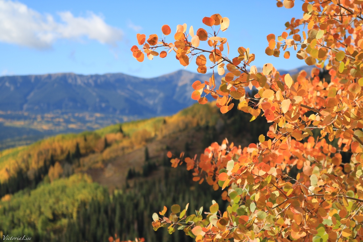 Orange aspen in the foreground of a colony of fall color. ©Victoria Lise 2018.