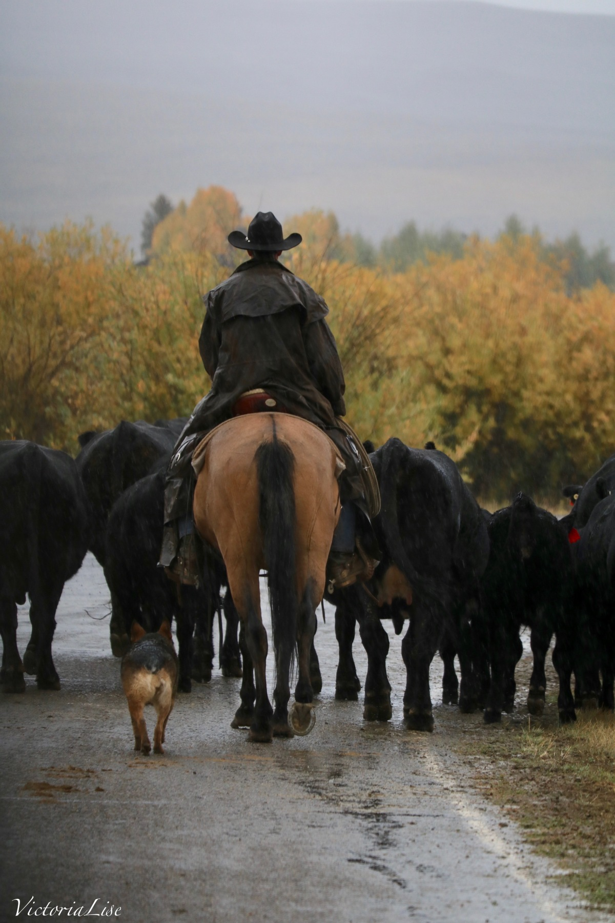Cattle dog accompanies Cowboy on a Colorado Cattle Drive. ©Victoria Lise 2018.