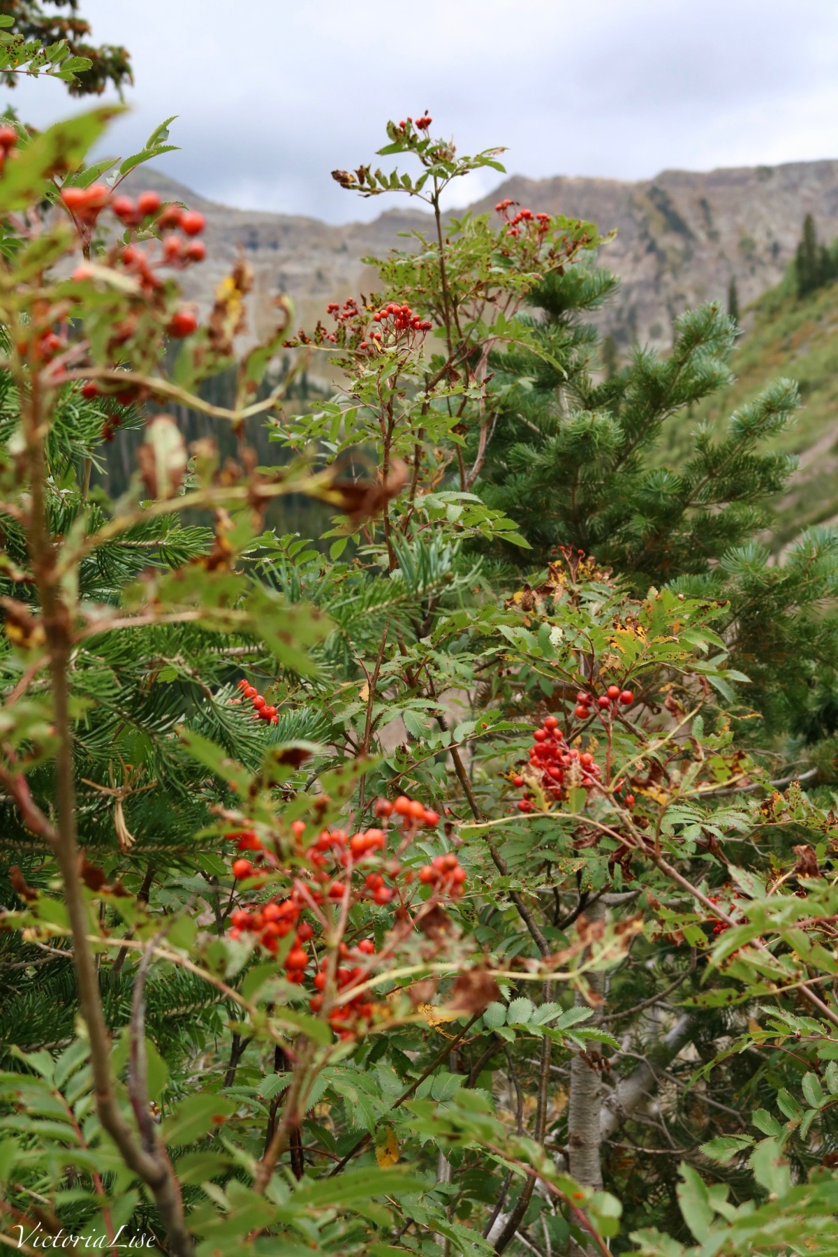 Holly berries against green pines and the west elk mountain range in the background. ©Victoria Lise 2018.