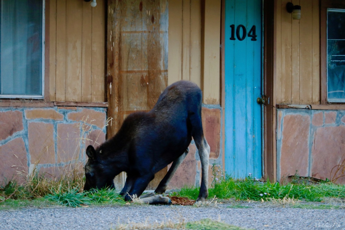 Moose eating grass on its knees. ©Victoria Lise 2018.