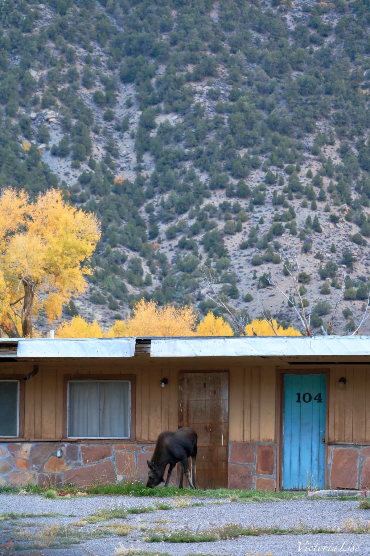 Early morning moose sighting in front of an abandoned Colorado Motel. ©Victoria Lise 2018.