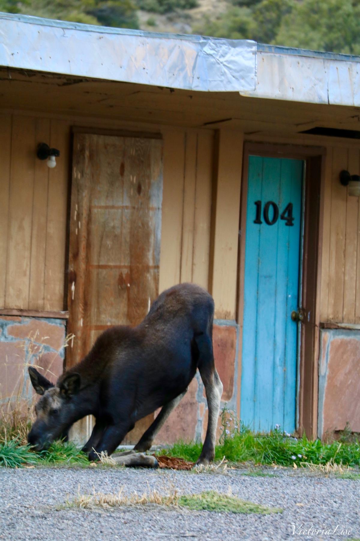 Moose brunching on grass, bottoms up! ©Victoria Lise 2018.