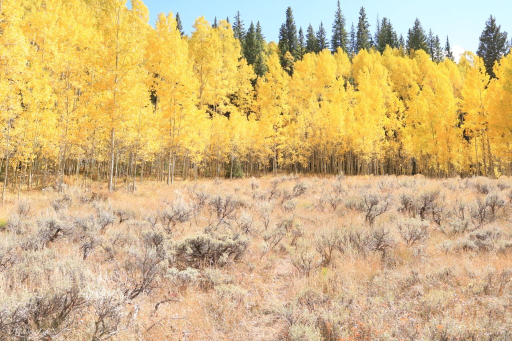 Aspen trees in Colorado adorned in fall covered leaves.
